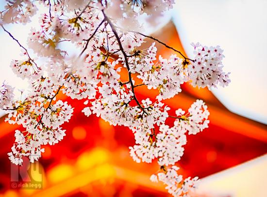 Sakura Kyoto-1