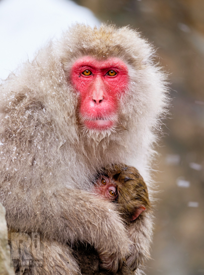 Snow Monkey Mom-1